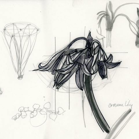 Crinum Lily. Structural Drawing of Flowers. Katharine Dickinson