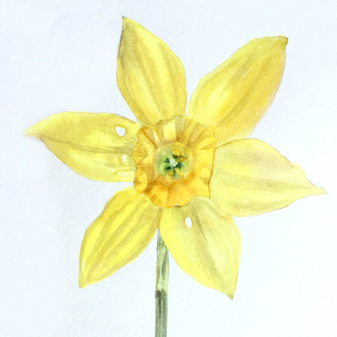 Drawing and Painting Flowers. VanDusen Botanical GardensWatercolour Daffodil. Katharine Dickinson