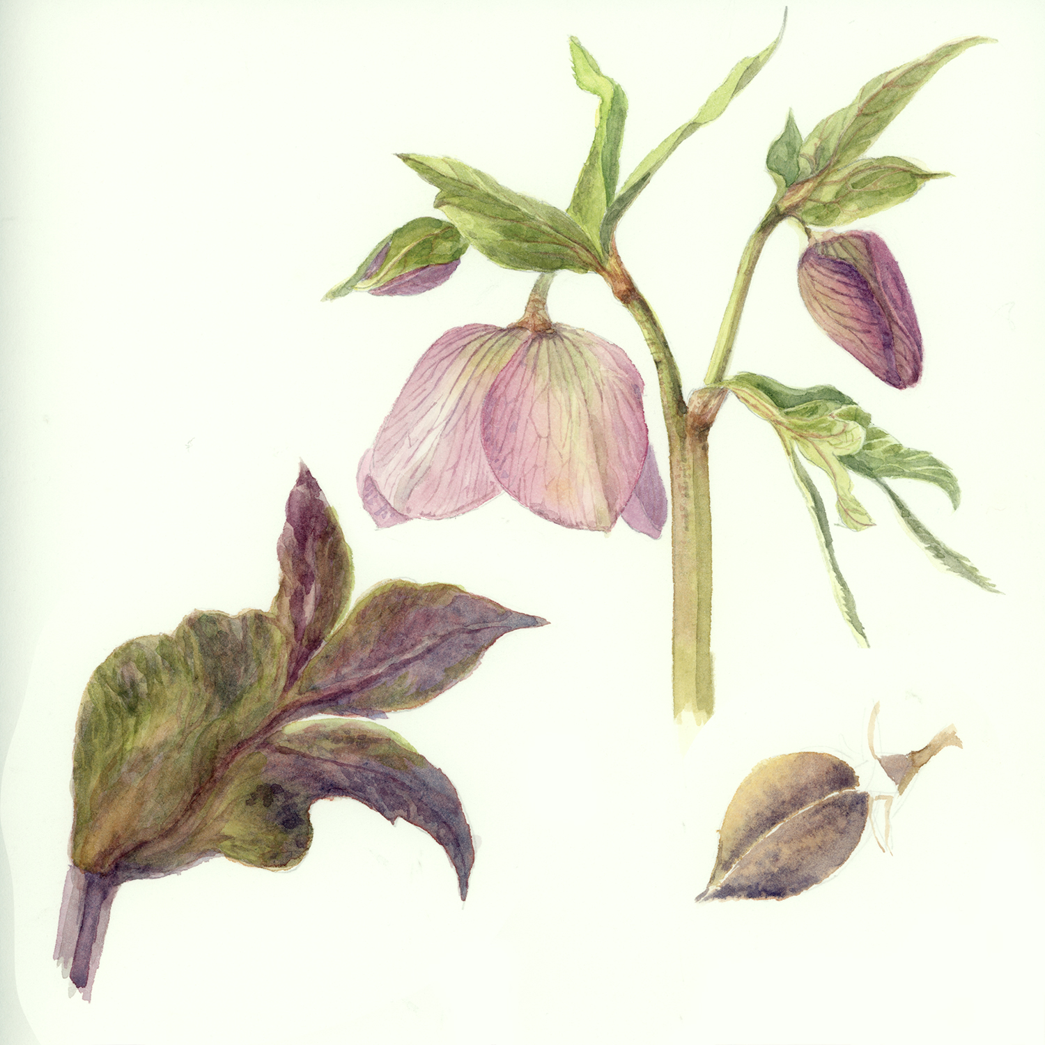Classroom watercolour botanicals demonstration Katharine Dickinson